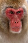 A portrait of adult Japanese macaque or snow monkey Jigokudani National Park, Japan.