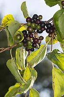 Echter Kreuzdorn, Kreuzdorn, Purgier-Kreuzdorn, Frucht, Früchte, Rhamnus cathartica, Rhamnus catharticus, Common Buckthorn, Buckthorn, European Buckthorn, fruit, Le Nerprun purgatif, Nerprun cathartique, Nerprun officinal