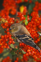 American female goldfinch in pyracantha berries
