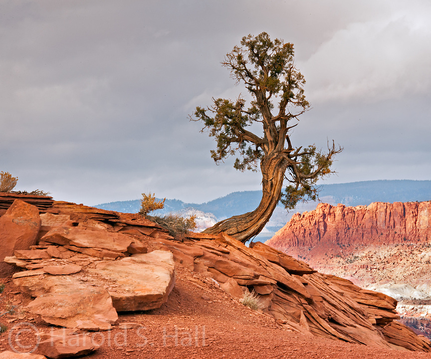 A storm clears behind a lone juniper tree at Observation Point in Capitol Reef National Park, Utah.