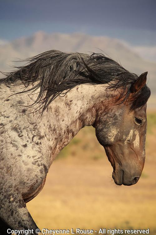 Mane & Mountain Mustang - Utah - Wild Horse