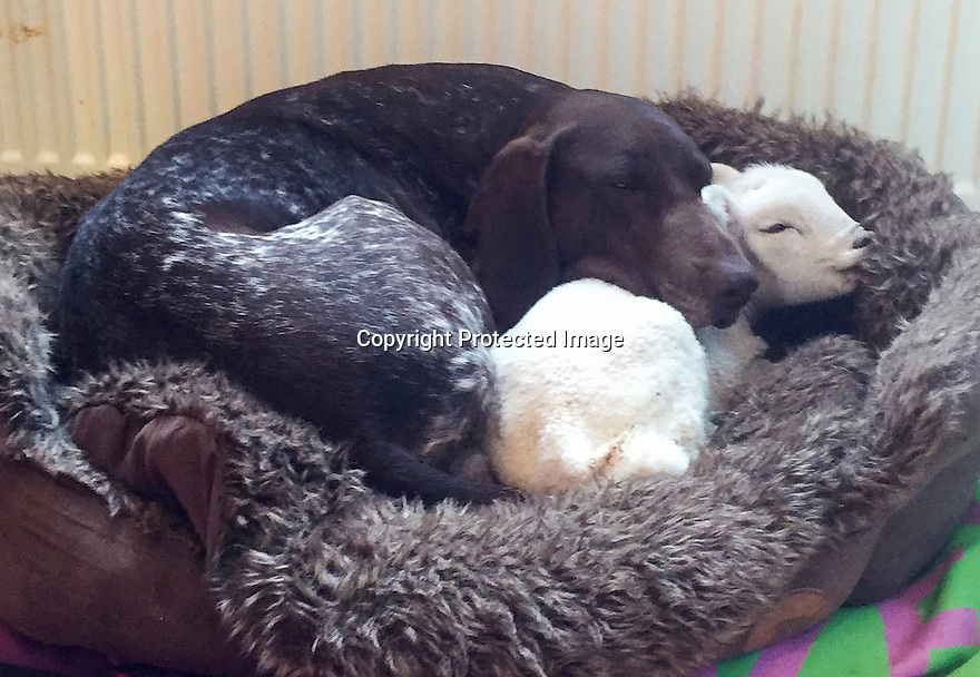 """03/05/16 <br /> <br /> ***BEST QUALITY PHOTO AVAILABLE***<br /> <br /> Lamb and Jess curl up in bed together.<br /> <br /> A newborn lamb, abandoned by its mother and close to death, has been nursed back to life by an unusual carer – a German shorthaired pointer dog.<br /> <br /> Full story here: <br /> <br /> http://www.fstoppress.com/articles/dog_adopts_lamb/<br /> <br /> .And the now the unlikely couple are best friends and go everywhere together, including sleeping in the same bed.<br /> <br /> But it could have been a very different ending as the lamb was born a week ago, on one of the coldest days this year with torrential snow, hail and rain, on the Isle of Skye in Scotland.<br /> <br /> The dog's owner, Lee Mather explained: """"I was keeping an eye on my neighbour's sheep while they were lambing.<br /> <br /> """"I have no sheep myself and know nothing about lambing.<br /> <br /> """"The lamb was one of twins and initially both were fine, but when checking on them shortly after, this little lamb hadn't been cleaned up by his mother, and was completely still and freezing cold.<br /> <br /> """"He had very little life left.<br /> <br /> """"I took him indoors not really expecting much, but as soon as I took him in, Jess my three-year-old German shorthaired pointer instantly took to him, cleaning him up and keeping him warm.<br /> <br /> All Rights Reserved: F Stop Press Ltd. +44(0)1335 418365   +44 (0)7765 242650 www.fstoppress.com"""