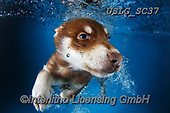 REALISTIC ANIMALS, REALISTISCHE TIERE, ANIMALES REALISTICOS, dogs, paintings+++++SethC_Hunter_IMG_8182rev8BOOOK7,USLGSC37,#A#, EVERYDAY ,underwater dogs,photos,fotos ,Seth