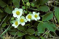 ST13-001b  Strawberry flowers