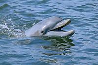 Dolphin Celebration, bottlenose dolphin, Tursiops truncatus, note teeth, Florida Keys, Florida, Atlantic