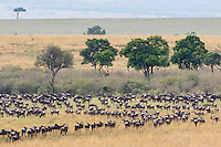 Wildebeast Migration3 Kenya 2015