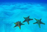 Starfish rest on  white sand in Hawaii's blue water.