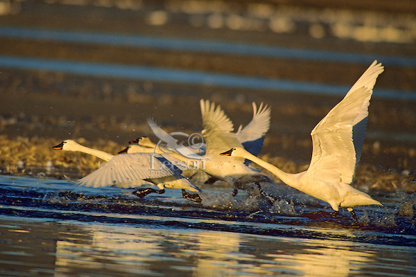 Tundra swans or whistling swans (Cygnus columbianus) taking flight, Winter.  Pacific Northwest.