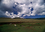 A herd of Burchell's zebra graze in Africa.