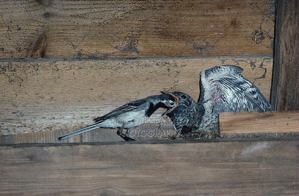 White Wagtail feeding young in nest in barn, Brood parasit, Rothenthurm, Switzerland, Europe