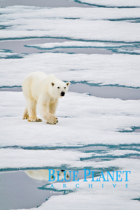Young curious female polar bear, Ursus maritimus, approaches the Lindblad Expedition ship National Geographic Explorer on fast ice near Hinlopen Strait off the eastern coast of Spitsbergen in the Svalbard Archipelago, Norway, Atlantic Ocean, polar bear, Ursus maritimus