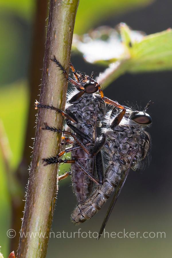 Raubfliege, Paarung, Pärchen, Paar, Kopulation, Kopula, Tolmerus spec, Machimus spec., robberfly, pairing, robber-fly, Raubfliegen, Mordfliegen, Asilidae, robberflies, robber flies