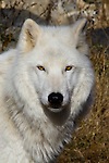Wolves Nature & Wildlife Photographs