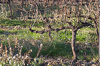 Domaine de l'Aigle. Limoux. Languedoc. Vines trained in Cordon royat pruning. France. Europe. Vineyard.