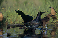Great-tailed Grackle, Quiscalus mexicanus,males and female, Welder Wildlife Refuge, Sinton, Texas, USA