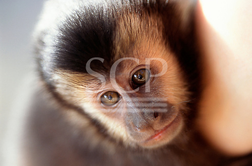 Sao Vicente, Brazil. Muriqui monkey (Brachyteles arachnoides); endangered species of Atlantic Rainforest.