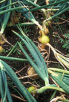 Yellow onions growing in vegetable garden, showing top of bulbs, leaf tops, soil in ground
