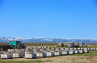 Three trucks arrived during the night. More than 1200 hives to unload and inspect before taking them to the orchards. .In the distance, the almond trees in the orchards are bare. It is a desert as concerns flowers and the bees have to live another three weeks on their reserves.