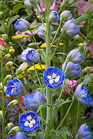 Delphinium grandiflorum Delfix Blue and White in flowers