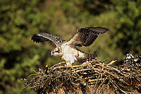 Young Osprey (Pandion haliaetus) flapping wing as it prepares to learn to fly.  Idaho.