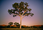 Ghost gum tree, Alice Springs region, Australia