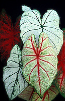 Leaves of Caladium araceae