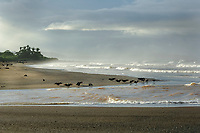 bird, black vulture, Coragyps atratus, waiting for olive ridley sea turtle, Lepidochelys olivacea, hatchlings to emerge from nests so they can prey upon them, Playa Ostional, Costa Rica, Pacific Ocean