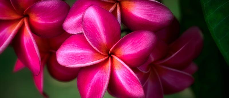 Close up of Frangipani or red Plumeria flowers. Kauai, Hawaii