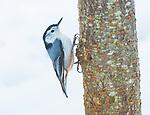 Nuthatch bird on tree trunk in winter.