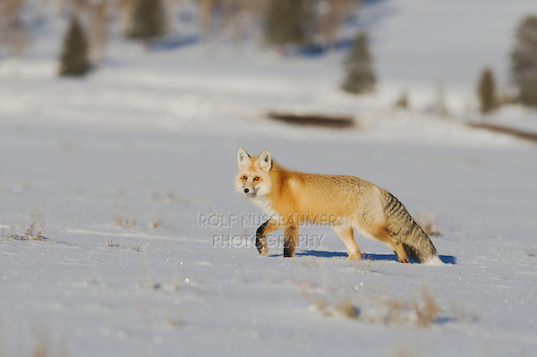 Red Fox (Vulpes vulpes), adult walking, Yellowstone National Park, Wyoming, USA