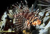 TP03-027z  Dwarfed Lionfish - Zebra Lionfish - Dendrochirus zebra