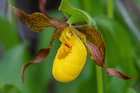 Yellow Lady Slipper or Yellow Lady's slipper orchid (Cypripedium parviflorum).  Northern Rocky Mountains, June.