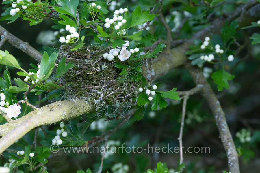 Mönchsgrasmücke, Nest in Weißdorn, Weissdorn, Napfnest, Mönchs-Grasmücke, Sylvia atricapilla, Blackcap, Fauvette à tête noire