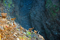 Several wild goats making new trails in Honokoa Gulch in Kawaihai 3 weeks after the two earthquakes and numerous large landslides at one of it's most narrow areas it's only 8' wide and 300' deep, the gulch filled in by as much as 50' in places, The Big Island of Hawaii