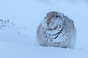 Mountain Hare (Lepus timidus) in heavy snowfall, Cairngorms National Park, Scotland. January.