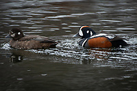 Harlequin Ducks (Histrionicus histrionicus) in a beaver pond in the mountains of Southcentral Alaska.