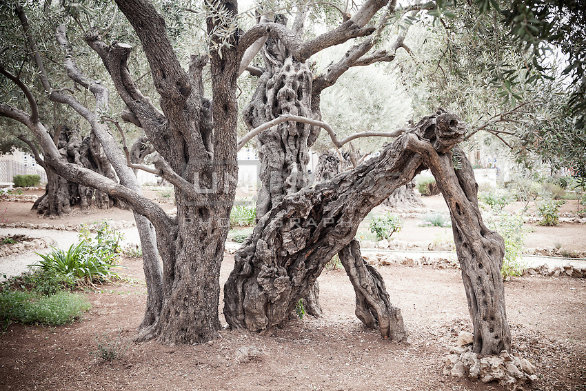 Mount of Olives in Jerusalem,  Gethsemane garden. Most famous as the place where, according to the gospels, Jesus and his disciples are said to have prayed the night before Jesus' crucifixion.