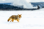Adult coyote (Canis latrans) walking through deep winter snow with geothermal feature erupting in the background. Firehole Valley, Yellowstone National Park, Wyoming, USA. January.