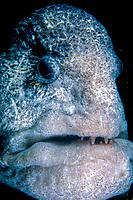 male wolf eel, Anarrhichthys ocellatus, Vancouver Island, British Columbia, Canada