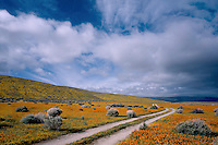 California poppies<br /> Antelope Valley<br /> Mojave Desert<br /> Los Angeles County,  California