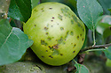 Signs of bitter pit on Apple 'Golden Noble', early September. It is a calcium deficiency disorder that occurs when apple trees - particularly large, heavy-cropping varieities - are unable to absorb sufficient calcium from the soil. As a result, fruit cells die and rot.