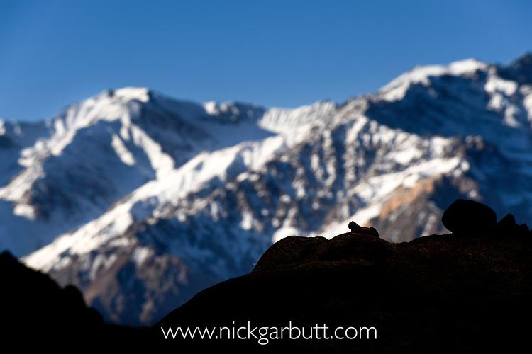 Silhouette of a snow leopard (Panthera uncia)(sometimes Uncia uncia) against the snowy peaks of the Zanskar mountains. Ladakh Range, Western Himalayas, Ladakh, India. (Digital composite image)
