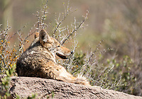 Coyote, Canis latrans, rests on a flat rock at the Arizona-Sonora Desert Museum, near Tucson, Arizona