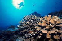 Hard Corals, Pocillopora eydouxi, and Silhouette of Whitetip Reef Shark, Triaenodon obesus, Fakarava Atoll, Tuamotus, French Polynesia, Pacific Ocean