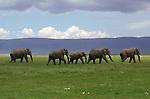 Elephants cross the Ngorongoro Crater floor in Tanzania.