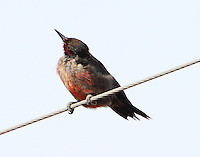 The Lewis's woodpecker sees an insect