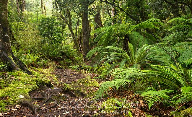 Beech forest track on Panekire Bluff, Te Urewera, Hawke's Bay, North Island, New Zealand, NZ