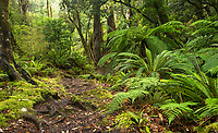 Beech forest track on Panekire Bluff, Te Urewera, Hawke's Bay, North Island, New Zealand, NZ
