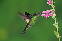 Buff-Winged Starfrontlet (Coeligena lutetiae), young male feeding from Sage flower,Papallacta, Ecuador, Andes, South America