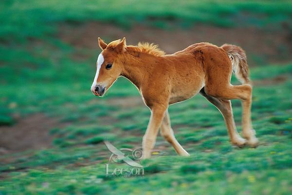 Young wild horse colt runs across mountain meadow.  Western U.S., summer..(Equus caballus)